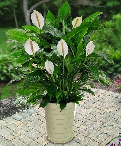 Cây Hồng Môn với hoa màu trắng rất thích hợp cho tuổi Ất Dậu
